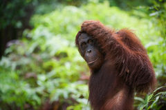 Idea. The orangutan, leaving, has looked back and has reflected, having scratched a head Royalty Free Stock Images