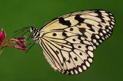 Idea leoconoe/male/butterfly Stock Photography