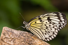 Idea leuconoe. Butterfly Idea leuconoe resting on a piece of wood Royalty Free Stock Photography