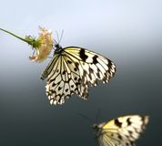 Idea leuconoe. Butterfly Stock Photo
