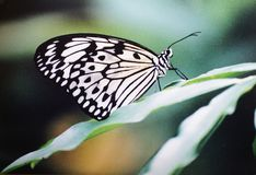 Idea Leuconoe Butterfly Stock Image