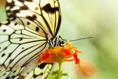 Idea Leuconoe butterfly Royalty Free Stock Photos