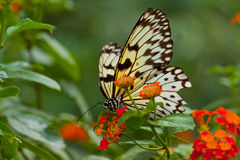 Idea Leuconoe Butterfly Royalty Free Stock Images