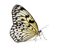 Idea leuconoe butterfly. In front of a white background Royalty Free Stock Photo