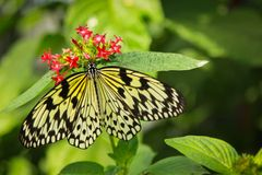 Idea leuconoe butterfly Stock Images