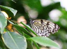Idea leuconoe butterfly sitting on green leave macro shot Stock Photos