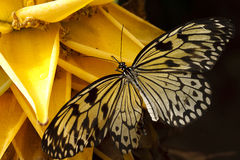 Idea Leuconoe. Butterfly on a yellow flower Stock Photography