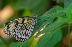 Idea leuconoe, large tree nymph on a green leaf royalty free stock photography