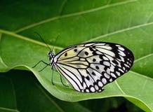 Idea leuconoe - Paper Kite. Stock Images