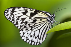 Idea leuconoe, Paper Kite Butterfly Stock Photos