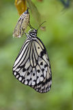 Idea leuconoe, Paper Kite Butterfly Royalty Free Stock Photo