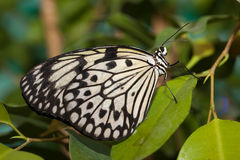 Idea leuconoe, Paper Kite, Rice Paper butterfly Stock Photos