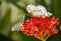 An Idea leuconoe Papiervlinder in the butterfly Garden of the Zoo Wildlands in the city Emmen, Netherlands.  stock photo