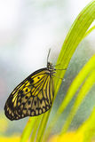 Idea leuconoe, rice paper. Butterfly - Idea leuconoe, rice paper - sitting on the plant covered in dew drops Stock Photos