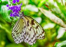 Idea leuconoe. Leuconoe Idea is a Southeast Asian tropical butterfly Stock Photos
