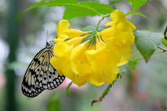 Idea stolli logani. Black and white butterly on yellow flower Stock Photography