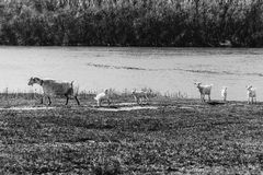 Ideal composition. Herd of goats. Kids are playing and running around. Old mother of a goat. royalty free stock images