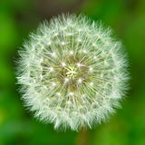 Ideal correct form. The white dandelion of ideal correct form. Macro, shallow DOF Royalty Free Stock Image