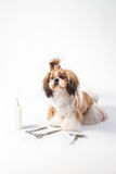 Ideal Shih-tzu beauty grooming puppy Royalty Free Stock Photo