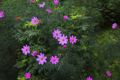 Ideale purpurrote Blume Pelargonie Stockfotografie