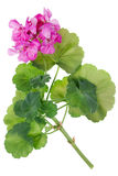 Ideale rosa Blume Pelargonie Stockfotografie