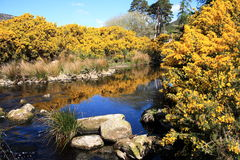 Idealic Ireland. Flowering gorse bushes around a calm stream high up in the Dublin mountains in Spring Stock Photos