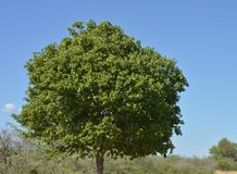 idealny drzewo Zdjęcie Stock