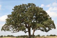 idealny drzewo Fotografia Royalty Free