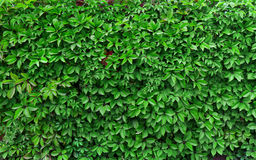 Ideas for garden - Green ivy background Royalty Free Stock Photography