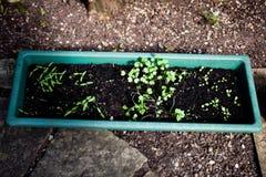 Ideas que cultivan un huerto del envase El cultivar un huerto casero del pote El cultivar un huerto en los potes para los princip Imagenes de archivo