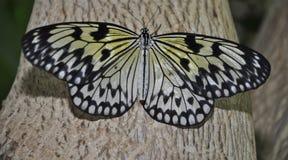 Idee Leuconoe/de Vlinder van de Vlieger van het Document van het Document van de Rijst Stock Foto