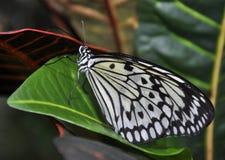 Idee Leuconoe/de Vlinder van de Vlieger van het Document van het Document van de Rijst Stock Fotografie
