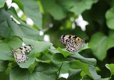 Idee leuconoe Schmetterling sitzt auf der Blume Stockfotos