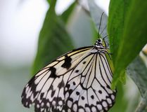 Idee leuconoe Schmetterling sitzt auf der Blume Lizenzfreie Stockfotografie