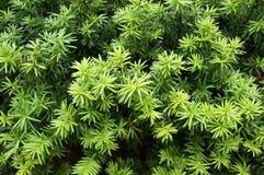 Idegran Att växa förgrena sig med gröna visare royaltyfria bilder