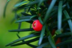 Idegransträ kärnar ur med röd aril Fotografering för Bildbyråer