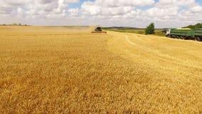 A ideia aérea da ceifeira de liga recolhe a colheita dourada do trigo na terra em 4K filme