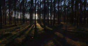 Ideia aérea da luz solar através das árvores na floresta do pinho no por do sol video estoque