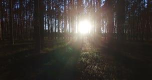 Ideia aérea da luz solar através das árvores na floresta do pinho no por do sol vídeos de arquivo