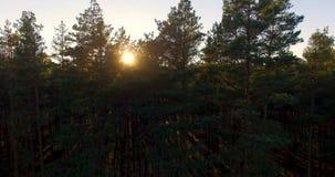 Ideia aérea da luz solar sobre árvores em uma floresta do pinho no por do sol 2 porções em 1 bloco filme