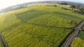 Ideia aérea de campos de florescência do canola filme