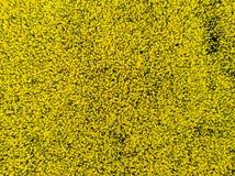 Ideia aérea do campo cultivado da colza do zangão pov fotografia de stock royalty free