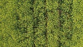 Ideia aérea do campo de florescência crescente do canola filme