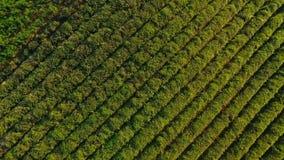 Ideia aérea mesmo de fileiras de plantas de chá na plantação, produção dos bens da exportação video estoque