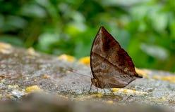 Ideia ascendente próxima da estada marrom da borboleta e para comer certos frutos na rocha perto da floresta no parque nacional d imagens de stock royalty free