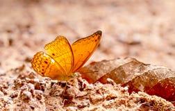 Ideia ascendente próxima da estada marrom da borboleta no pântano de sal e para tomar o mineral do solo durante o tempo do dia co imagem de stock