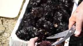 A ideia ascendente próxima das mãos do homem abre e limpa ouriços-do-mar filme