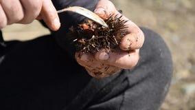 A ideia ascendente próxima das mãos do homem abre e limpa ouriços-do-mar vídeos de arquivo