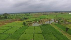 Ideia bonita da antena/zangão de campos de almofada do arroz na cidade Indonésia do slawi vídeos de arquivo