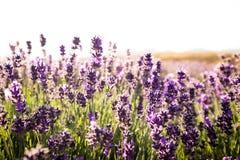 Ideia cênico do campo da alfazema em Nova Zelândia imagem de stock royalty free
